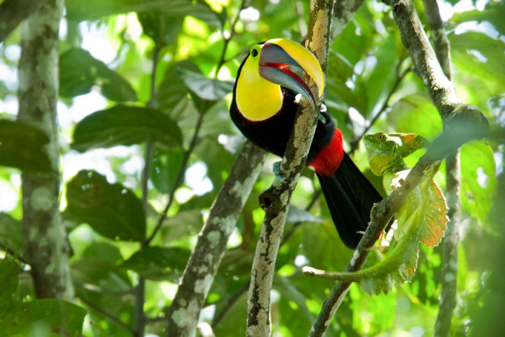 Black-mandibled-toucan-and-a-Green-iguana