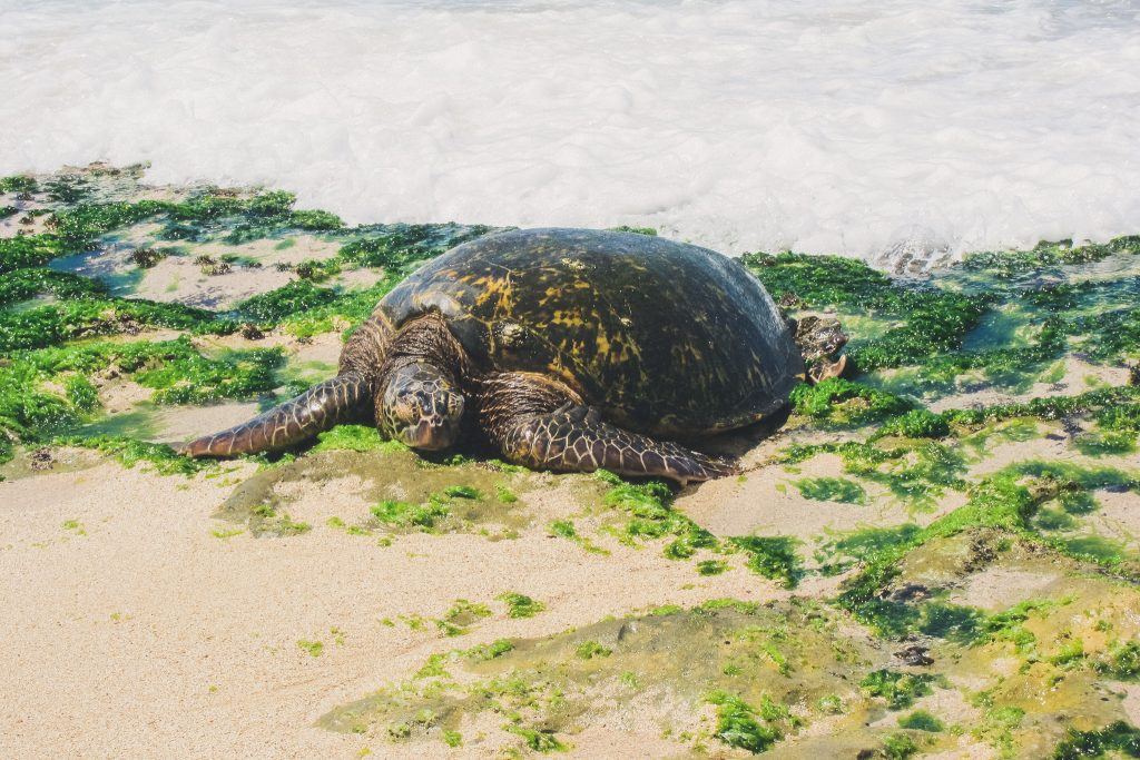 Laniakea Beach turtle