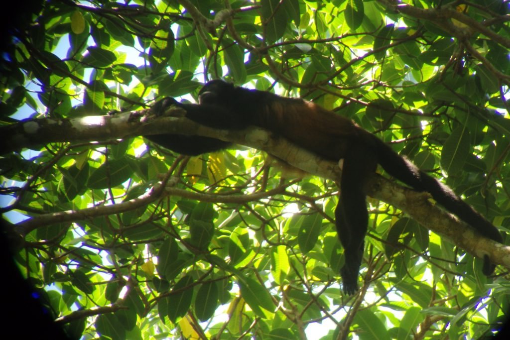 monkey at Corcovado National Park