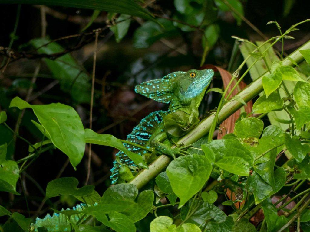 Tortuguero, lizard