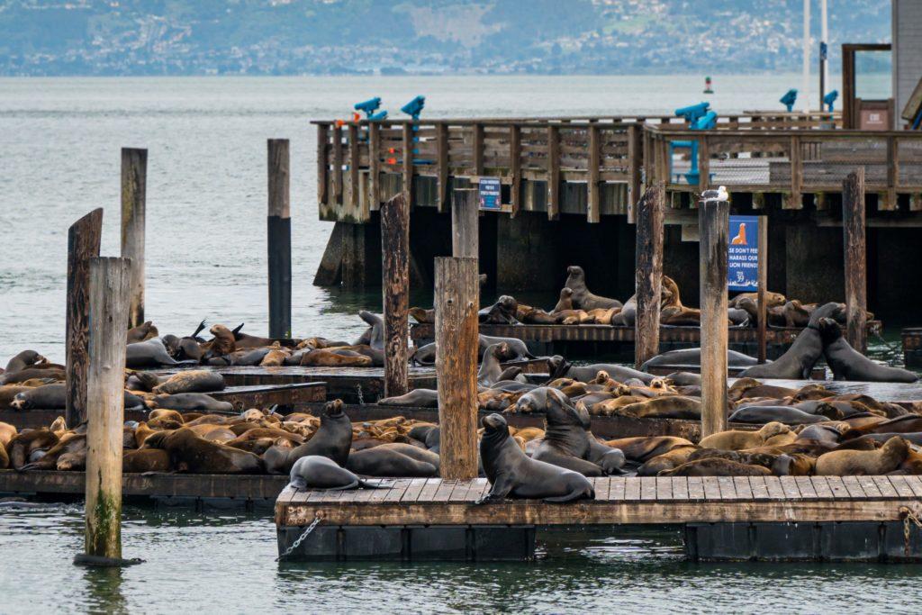 seals at Fisherman's Wharf in San Francisco