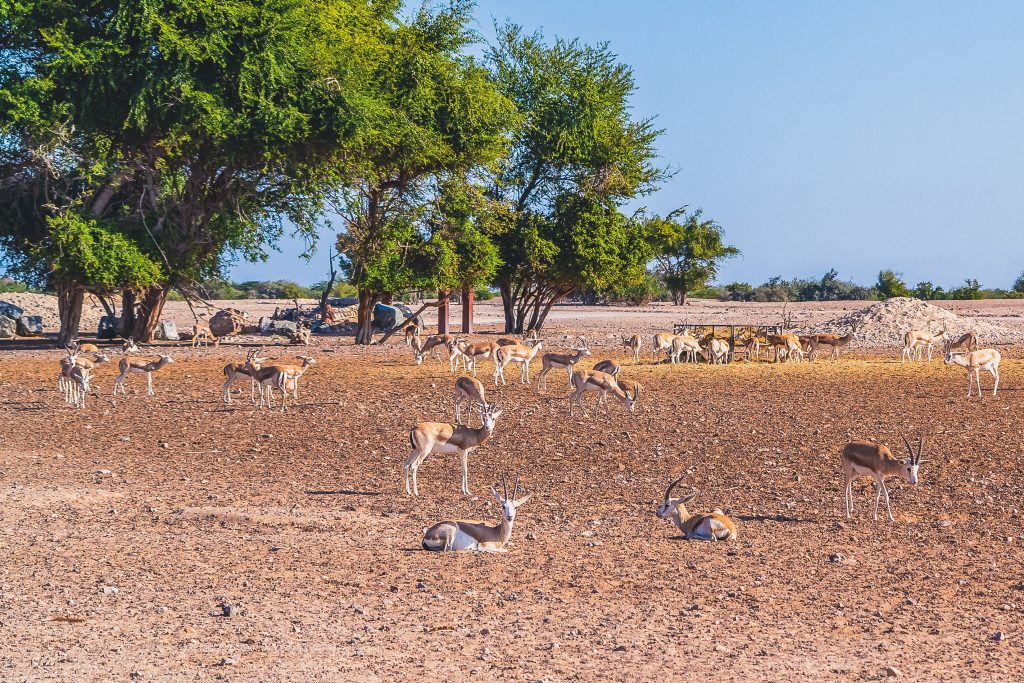 Antelope group in a safari park on the island of Sir Bani Yas, United Arab Emirates.