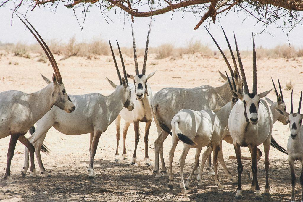 arabian-oryx-