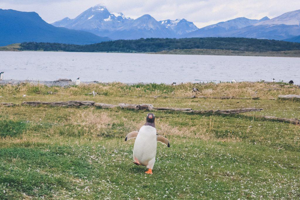 Penguin in ushuaia