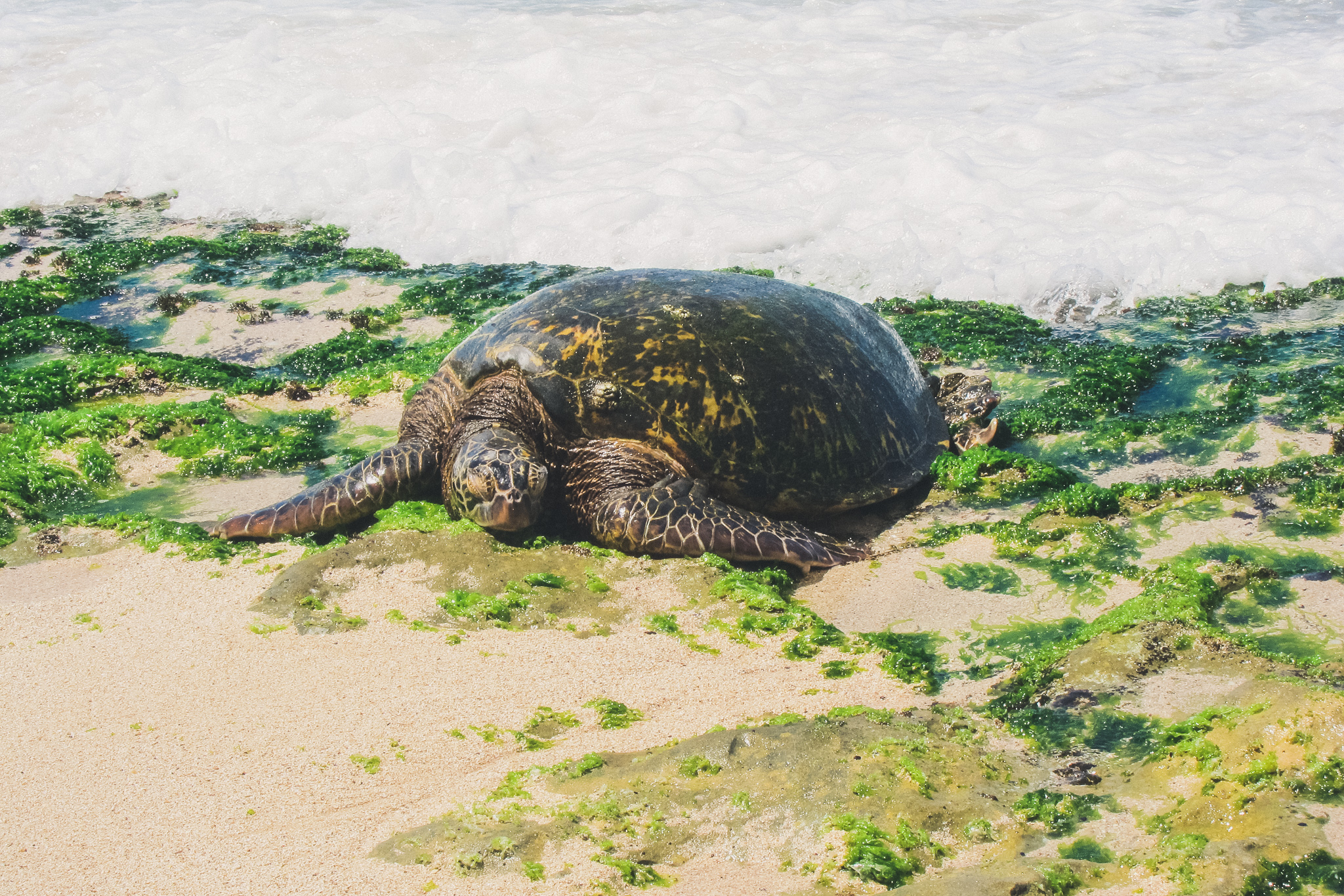 turtle in oahu
