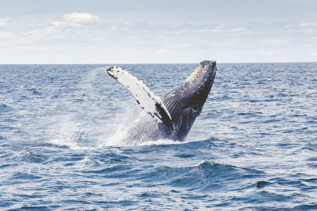 whale tail, off the coast of Cape Cod's Provincetown